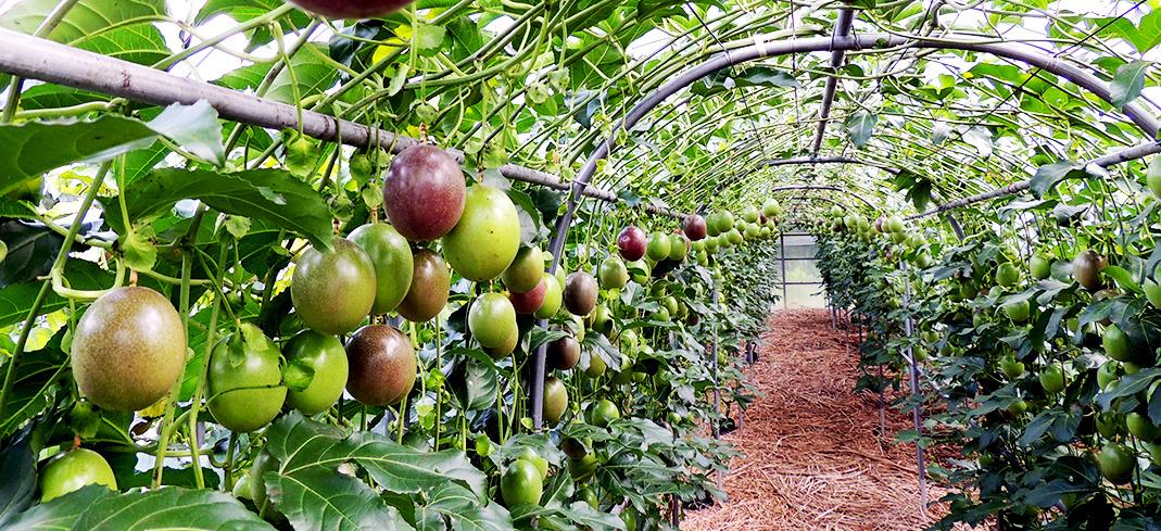 フルーツ の 育て 方 パッション